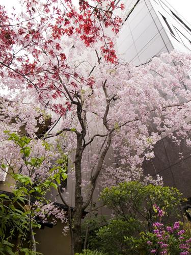 _0012715桜.jpg